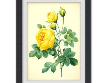 Yellow Redoute rose digital botanical print, 8x11 wall art, printable pdf INSTANT DOWNLOAD