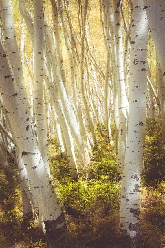 Aspen Trees fall tree decor Colorado art rustic wall art