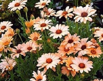 100 Seeds African Daisy Salmon Flower Seeds