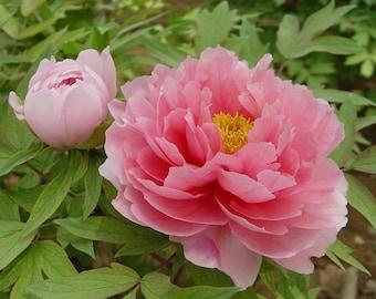 10 Paeonia moutan Seeds,