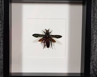 Giant Dagger Wasp Megascolia procer with 98 mm wing span