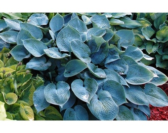 Hadspen Blue Hosta, Plant, Perennial, Blue Green Leaves, Purple Flowers, Landscaping, Border, Dense Foliage, 1 Quart Potted Plant