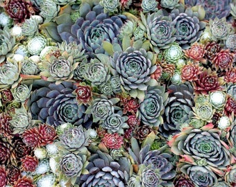 300 Sempervivum Seeds, Hens And Chicks, Houseleeks, Succulents, Lithops, Living Stones Seeds, Rare Succulents, Mix Succulents Seeds