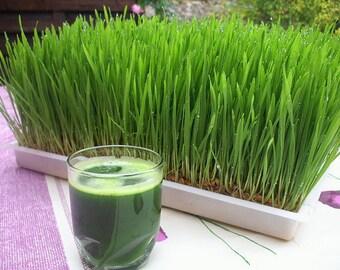 Wheatgrass / Catgrass Seeds 200+