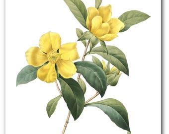 Yellow Flower Print, Botanical Dillenia Scandens, Botanical Illustration, Floral Theme Decor, 8 x 10 inches, Unframed
