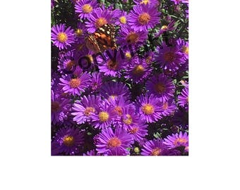 Monarch On Aster Photo