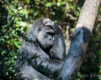 Gorilla in the Trees, Thinker, Photograph Print