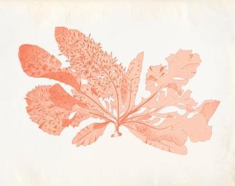 Vintage Sea Weed Kelp Coral Print 8x10 P258