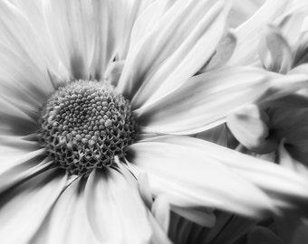 Flower Print, White Flower Print, Mums, Flower Photo, Black and White Print, Chrysanthemum, Nature Photography, Fine Art Print