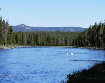 Trumpeter Swans in the Yellowstone River Print // Swan Photograph // Yellowstone Photography