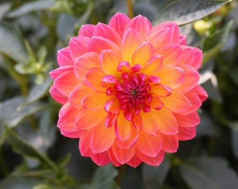 Day-Glo Dahlia - Pink and Yellow - Bright and Beautiful x 3 - Flower Photograph - Flower Garden -