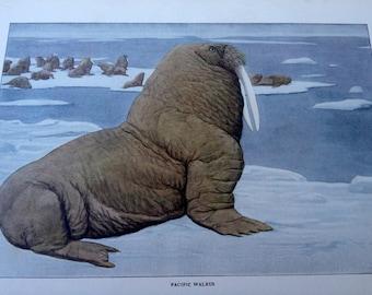 Pacific WALRUS Vintage 1906 Print Louis Agassiz Fuertes
