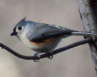 Framed Tufted Titmouse