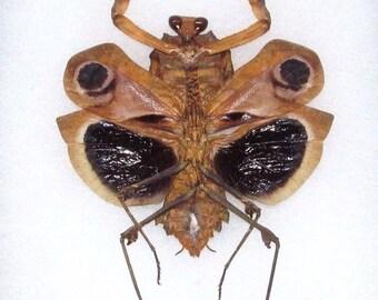 ONE real praying mantis deroplatys dessicata black death mantis light form female spread mounted