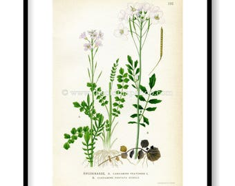 1922 Cuckooflower, Lady's Smock, White Cuckoo Bitter-cress Antique Print (Cardamine Pratensis & Dentata) by Lindman, Flower Book Plate 192