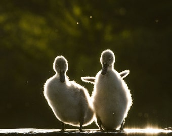 "Wildlife Photograph ""Brothers"". Back Lit Cygnets at Sunset. Baby Swan Wildlife Photography Fine Art Print."