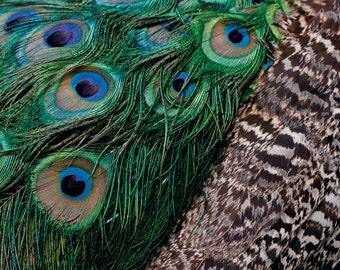 Peacock Glory: A6 Photography Art Print  (Nature, bird, wildlife photography)