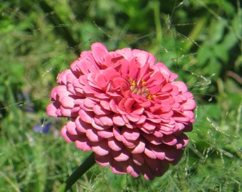 Pink Zinnia Photo, Flower Print, Pink Flower Print, Zinnia Photo, Country Prints