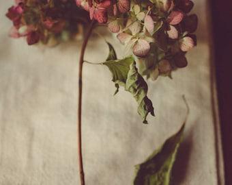 Fine Art Photo, Hydrangea Flower, Nature Art, Flower Photo, Still Life Art, Garden Art, Minimalism, Pink, Botanical Art, Hydrangea Photo