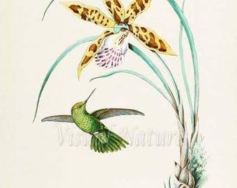 Panychlora Alicia Hummingbird Print, Bird Art Print, Bird Art, Bird Poster, Floral Art, Flower Art Print,Garden,Hummingbird Art,yellow,green