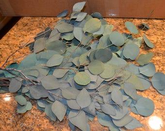 Silver dollar eucalyptus, Green eucalyptus, Preserved Green Silver Dollar Eucalyptus for dried florals weddings