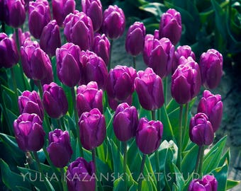 Purple Tulips Fine art photography Floral botanical photo Purple flowers photo Photography print Tulip festival photo Garden photography