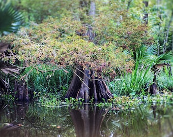 Louisiana Bayou Fine Art Nature Photograph, Landscape Print, Cypress Tree, Swamp, Home Decor, Wall Art