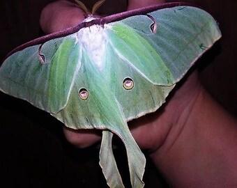 Fairytale, fairy wings, Luna Moth, butterfly gift, butterfly wing, fairy wings, butterfly jewelry, real butterfly wing earrings