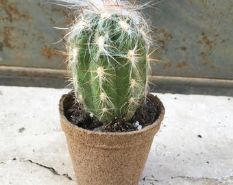 "small ""mohair cardigan"" cactus in a peat pot"