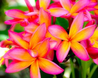 Plumeria Flowers - Image 369
