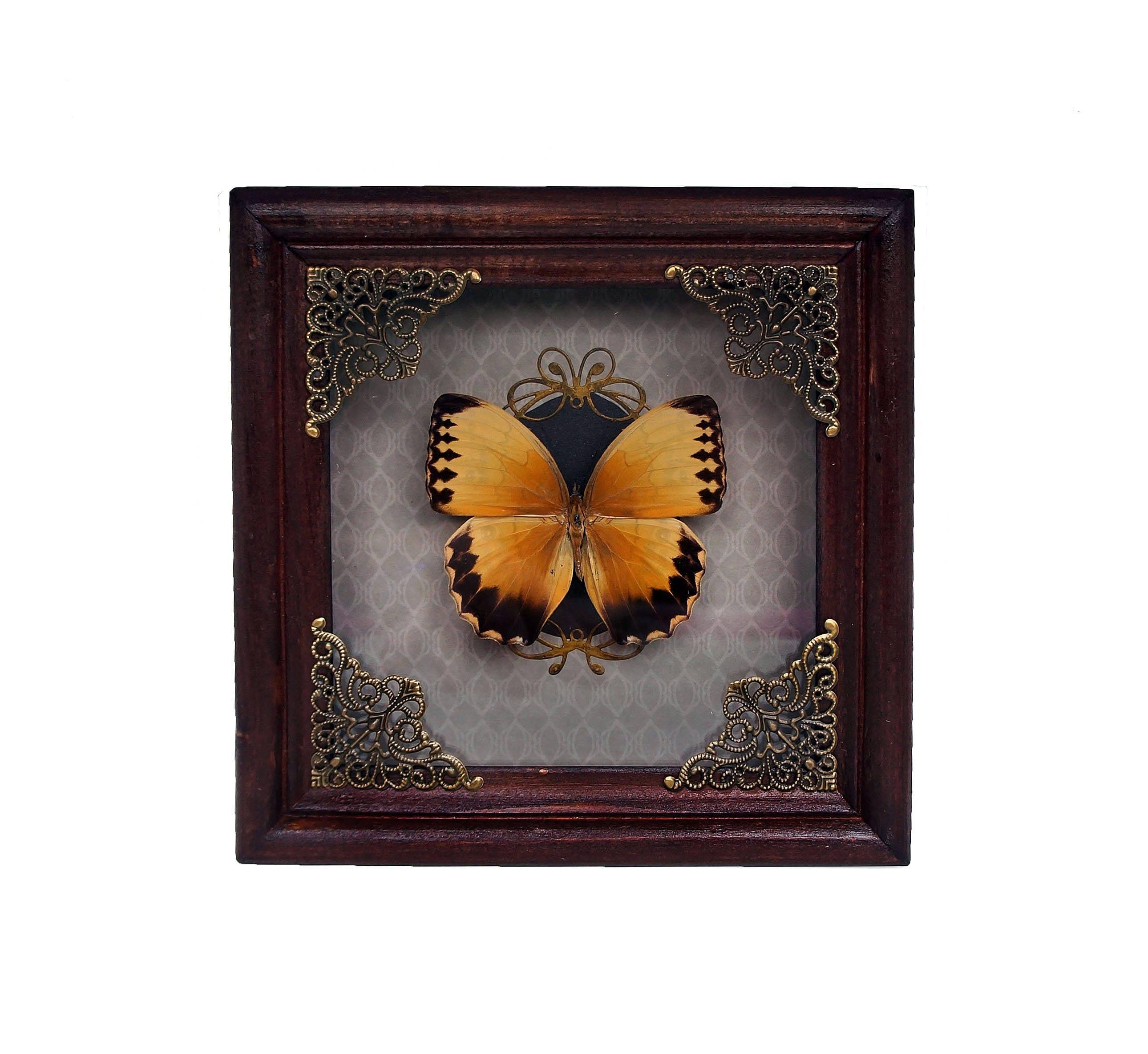 Entomologie Rahmen echter Schmetterling Stichophthalma Howqua