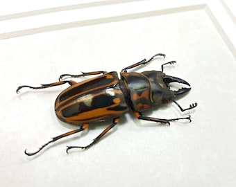 FREE SHIPPING Real Framed Prosopocoilus Zebra Stag Beetle Taxidermy A1/A1- #150