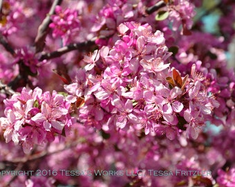 Bright Pink Blossoms 8x10 glossy print