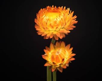 Orange Flowers, Nature Photography, Flower Photograph, Wall Decor - Orange Strawflower, Art Print, Pale Yellow, Botanical Home, Feminine Art