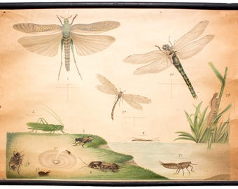 Dragonfly, educational chart , 1891