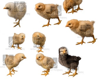 INSTANT DOWNLOAD Chick overlay