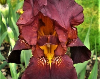 Fragrant Tall Bearded Iris Ruby Mine, Large Blooms, Very Fragrant, Vigorous Grower