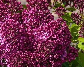 Burgundy Queen French Lilac ( syringa ) - Live Plant - Quart Pot