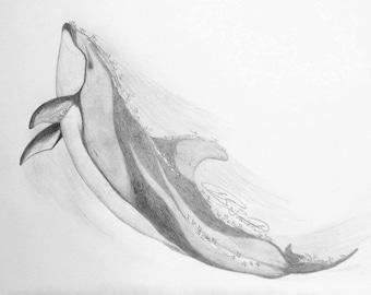 Pacific White-Sided Dolphin/ Lagenorhynchus obliquidens- graphite sketch original print