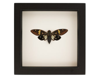 Framed Cicada Gaeana laosensis Insect Art