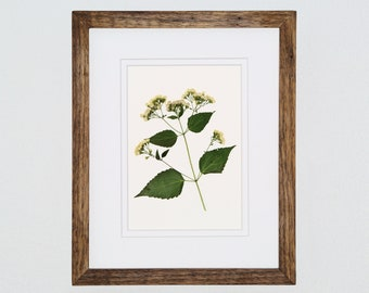 Pressed Flower Art, White Snakeroot, 8x10, Pressed Botanical Art, Wildflower Art