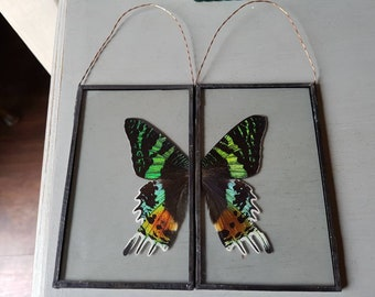 Beautiful taxidermy sun moth wings set in glass