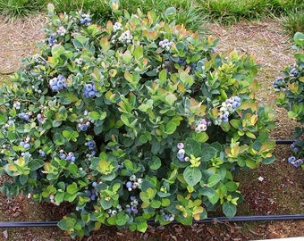 Top Hat Dwarf Blueberry ( Vaccinium ) - Live Plant - Quart Pot