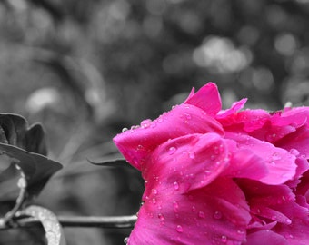 Droplets on peony Selective Color photo
