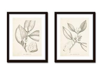 Sepia Citrus Etchings Print Set No. 25, Botanical Prints, Botanical Print Set, Giclee, Lemon Prints, Wall Art, Farmhouse Decor, Kitchen Art