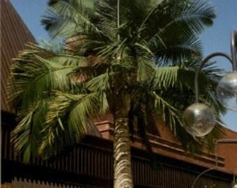 Live 2-3 Foot Majesty Palm Tree - 2 Gal Pot - Free Shipping