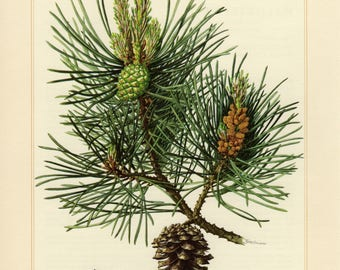 Vintage lithograph of the Scots pine from 1958