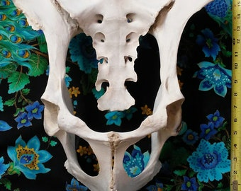 Bison/Buffalo Pelvis and Sacrum (Tail-Bone). Weathered - Found Natural Bones. Cleaned. Crazy Bones & Piney Cones (Taxidermy NE NM)