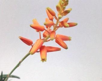 Aloe 'Firebird'