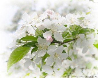 Flowering Crabapple Tree, White and Pink Spring Blossoms, Nature Photography, Fine Art Print, Crabapple in Spring 2